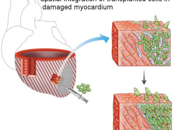Spatial integration of implanted cells